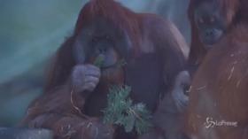 Russia, gli alberi di Natale diventano cibo per gli animali dello zoo di Mosca