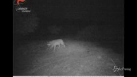 Colli Euganei, un lupo si aggira nel Parco
