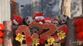 Debutto in società per 10 baby panda