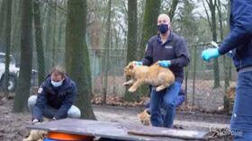 tre leoncini vaccinati contro l'influenza
