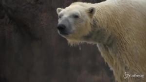 Orso polare maschio uccide femmina della sua specie nello zoo