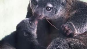 Cucciolo di canguro a rischio estinzione è nato al Wroclaw Zoo in Polonia