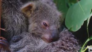 Cucciolo di koala nato nello Zoo di Sidney