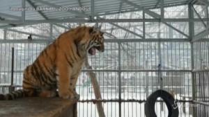 La tigre Vitas: ruggito come il vagito di un neonato