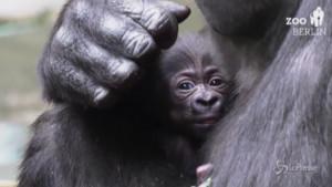 Nata una cucciola di gorilla