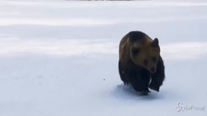 Sciatore inseguito da un orso in pista