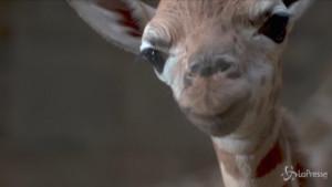 Baby giraffa nata allo zoo di Chester