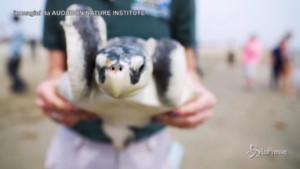 tartarughe marine salvate dall'ondata di gelo