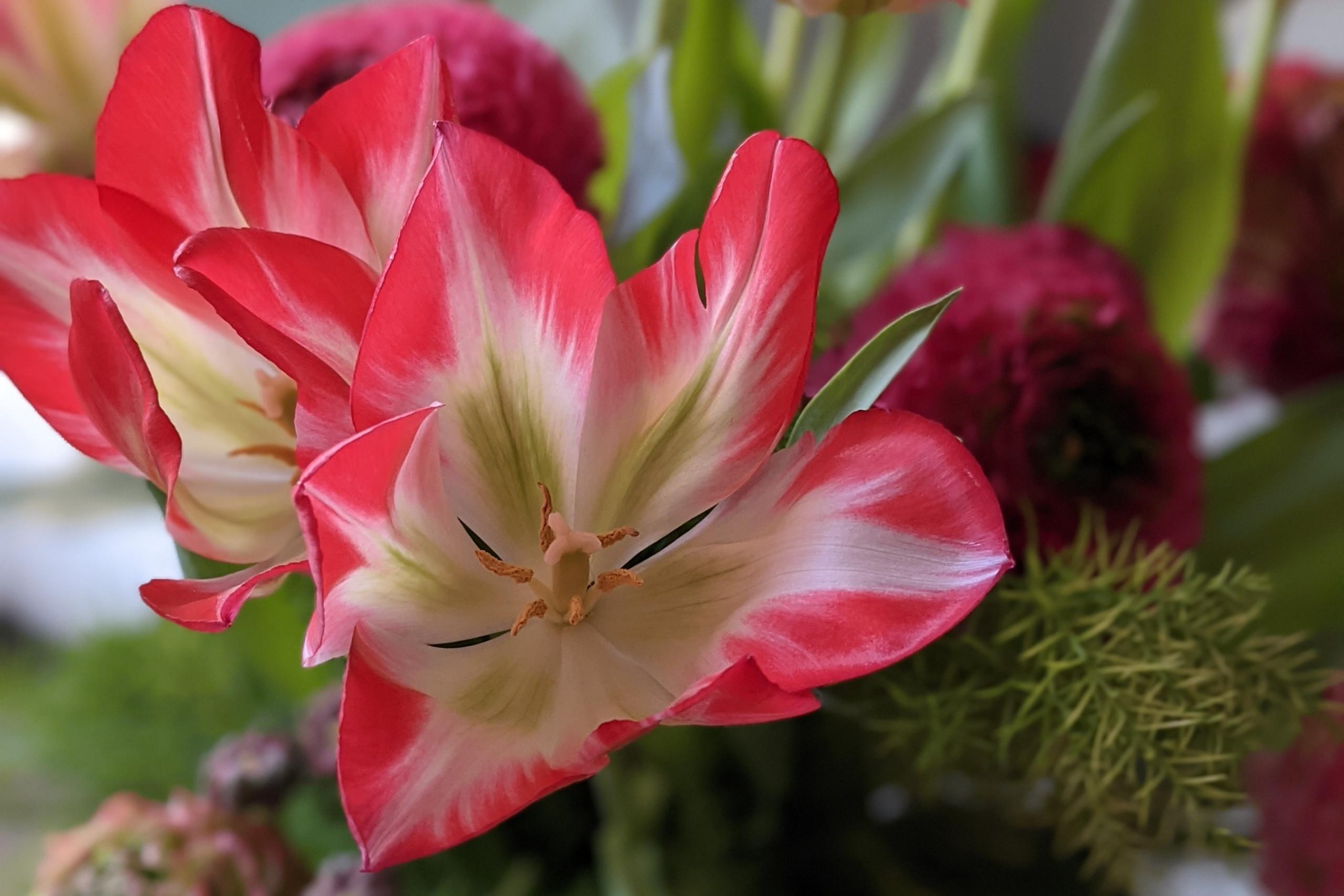 fiore all'occhiello, tulipano