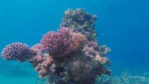 coralli coltivati in laboratorio per ripopolare i mari