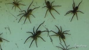 Galles del Sud infestato da migliaia di ragni