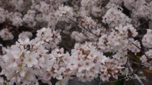 Spettacolo dei ciliegi in fiore in Giappone