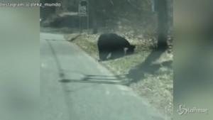Mamma orsa attraversa con i cuccioli