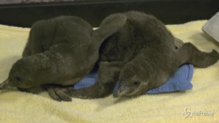 pinguini di Humboldt in uno zoo dell'Illinois