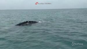 Balena grigia