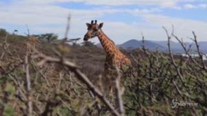 Giraffe salvate dall'innalzamento dell'acqua sull'Isola di Longicharo