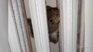 scoiattolo curioso rimane incastrato in un termosifone