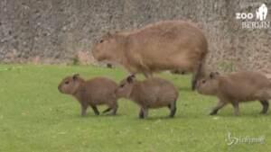 Cuccioli di capibara