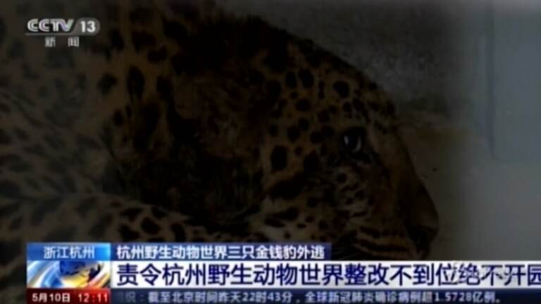 Tre leopardi fuggono da zoo in Cina