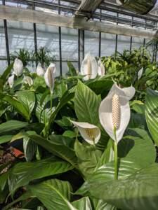 Le vele bianche dello Spathiphyllum