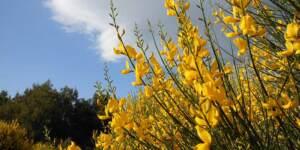 La Ginestra nella sua splendida fioritura