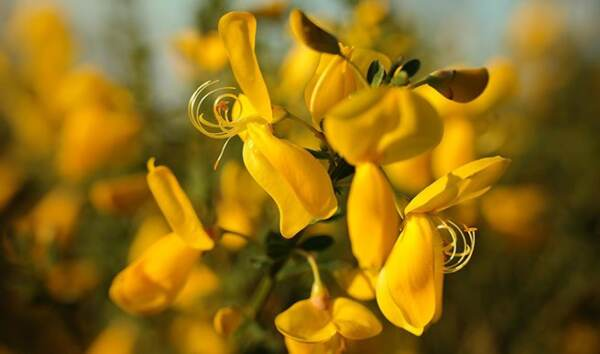 La splendida ginestra fiorita