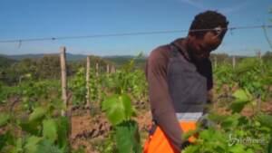 Migranti tra i filari delle vigne in Toscana