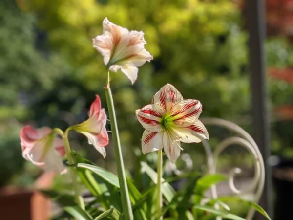 Amaryllis, una fioritura fiabesca