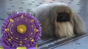Ecco Wasabi, il cane più bello degli Stati Uniti
