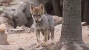 Città del Messico, allo zoo di Chapultepec nati 5 cuccioli di lupo