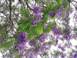 Jacaranda, l'albero dei sogni