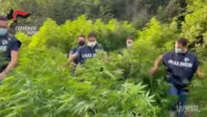 Pompei: 9 tonnellate di marijuana in una piantagione di oltre 2mila metri quadri