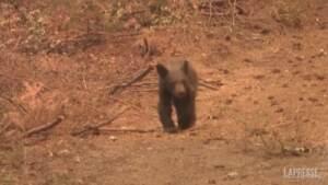 California, il cucciolo di orso orfano per colpa del Dixie Fire