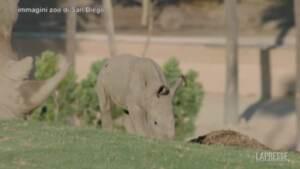 Allo zoo di San Diego i primi passi di un neonato rinoceronte bianco