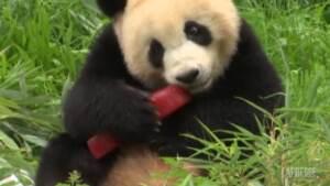 Germania: allo zoo di Berlino festeggiato il compleanno di una coppia di panda gemelli