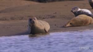 Gb, le foche prosperano sull'estuario del Tamigi