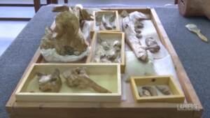 Egitto, scoperto il fossile di un antenato della balena: aveva le zampe