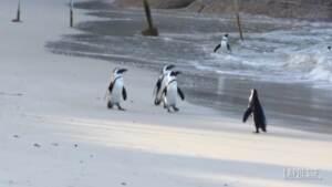 Sudafrica: sciame di api uccide 63 pinguini