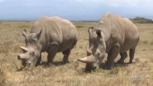 Kenya, i tentativi per salvare il rinoceronte bianco settentrionale dall'estinzione