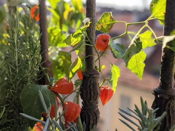Alchechengi, un frutto da scartare