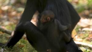Debutto in pubblico per una piccola scimmia ragno allo zoo di Chester